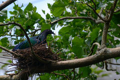 Nicobar duvasammanträde på ett rede som göras av ris, vetenskaplig fågelnamnCaloenas nicobarica Arkivfoton