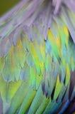 Nicobar gołębia piórka Zdjęcie Royalty Free