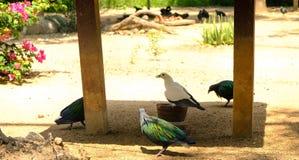 Nicobar gołębia pozycja na ziemi gruntuje z mnóstwo ptakami Zdjęcie Stock