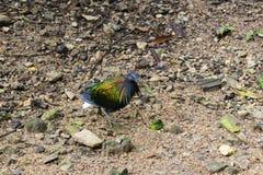 Nicobar gołębia ptak Zdjęcia Royalty Free