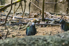 Nicobar gołębia ptak Zdjęcie Stock