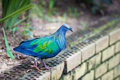 Nicobar pigeon Stock Photos