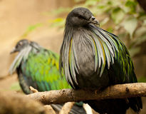 Nicobar Pigeon Royalty Free Stock Photo