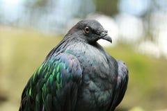 Nicobar Pigeon. The nicobar pigeon, mature and close-up Stock Images
