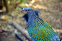 Nicobar pigeon Stock Photo