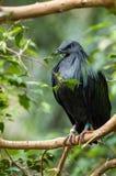 Nicobar Pigeon Royalty Free Stock Images