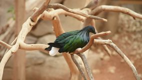 A nicobar pigeon dove Caloenas nicobarica perched on a tree branch. Calmly looks around the environment allowing a view of beautiful glossy green and black stock footage