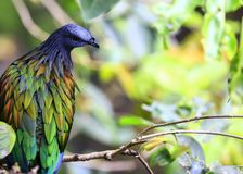 Nicobar pigeon Stock Photo