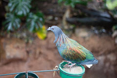 Nicobar Pigeon. A Nicobar Pigeon looking around its habitat at the Philadelphia Zoo Stock Photo