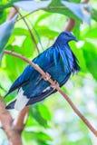 Nicobar Pigeon Royalty Free Stock Image