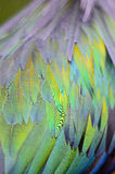 Nicobar Pigeon's feathers Royalty Free Stock Photo