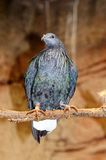Nicobar pigeon. Royalty Free Stock Photos