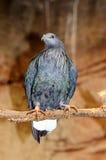 Nicobar pigeon. Royalty Free Stock Photos
