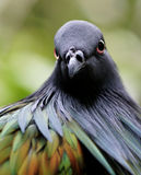Nicobar Pigeon Stare Stock Photo