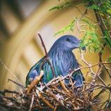 Nicobarica Caloenas голубя Nicobar Стоковые Фото