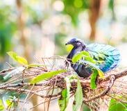 Nicobarica del piccione o di Caloenas di Nicobar Fotografie Stock