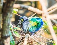 Nicobarica del piccione o di Caloenas di Nicobar Fotografie Stock Libere da Diritti