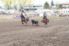 Nicola Valley Rodeo. MERRITT; B.C. CANADA - MAY 15: Cowboy roping event at Nicola Valley Rodeo May 15; 2011 in Merritt British Columbia; Canada Stock Photography