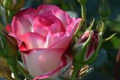 Nicole menchii róża Zdjęcia Stock