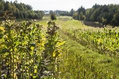 Nicotiana τομέων tabacum ο κοινός καπνός Στοκ Φωτογραφίες