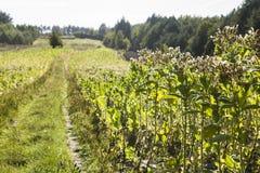 Nicotiana τομέων tabacum ο κοινός καπνός Στοκ Εικόνες