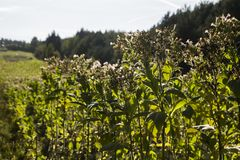 Nicotiana τομέων tabacum ο κοινός καπνός Στοκ Φωτογραφία