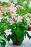 Nicotiana alata Appleblossom stock photos