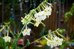Nicotiana alata flowers in morning Royalty Free Stock Photography
