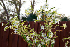 Nicotiana alata  flowers with picket fence Royalty Free Stock Images