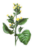 Nicotiana Rustica. Hand-made illustration of a tobacco plant - Nicotiana Rustica stock illustration