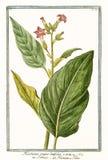 Nicotiana tabacum principale della nicotiana Fotografia Stock Libera da Diritti
