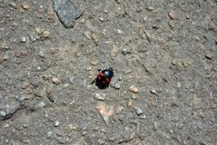Nicrophorus vespilloides burying beetle or sexton beetle young specimen on asphalt background. Top view royalty free stock photo