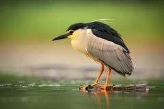 Nicticora, nycticorax nycticorax, uccello acquatico grigio che si siede nell'acqua, Ungheria fotografie stock