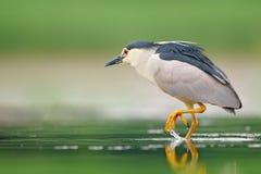 Nicticora, nycticorax nycticorax, uccello acquatico grigio che si siede dall'acqua, animale nell'habitat della natura, Ungheria,  fotografie stock libere da diritti