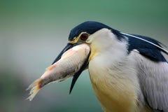 Nicticora, ritratto del dettaglio dell'uccello acquatico grigio con il pesce nella fattura, animale nell'acqua, scena di azione,  Fotografie Stock Libere da Diritti