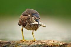 Nicticora, uccello acquatico grigio con il pesce nella fattura, animale nell'acqua, scena di azione dall'Ungheria, habitat della  immagine stock libera da diritti