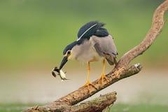 Nicticora, uccello acquatico grigio con il pesce nella fattura, animale nell'acqua, scena di azione dall'Ungheria, habitat della  fotografie stock