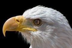 Nictitating membraan van kale adelaar Close-up van vogeloog met Th royalty-vrije stock afbeelding