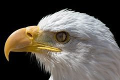 Nictitating membrane of bald eagle. Close-up of bird eye with th. Ird eyelid closing. American bald eagle head in profile against black background royalty free stock image