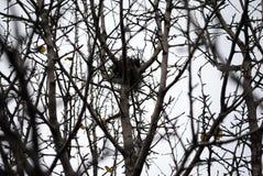 Nid abandonné sur des branches d'épine sans feuilles image stock
