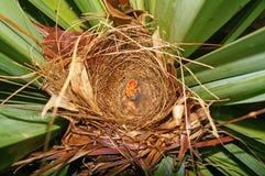 Nid avec deux oiseaux de bébés affamés Images libres de droits