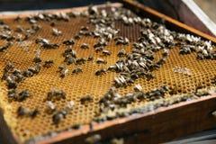 Nid d'abeilles avec des abeilles l'apiculture Photo stock
