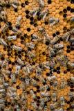Nid d'abeilles avec le fond d'abeilles Photo stock