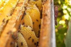 Nid d'abeilles, cadre de ruche, cadre cru de nid d'abeilles avec du miel Photographie stock