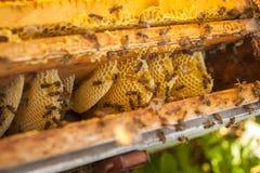 Nid d'abeilles, cadre de ruche, cadre cru de nid d'abeilles avec du miel Photographie stock libre de droits