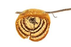 Nid d'abeilles d'isolement sur le blanc Image stock