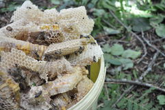Nid d'abeilles sauvage Photographie stock libre de droits