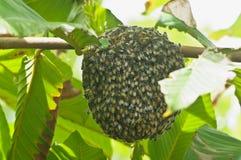 Nid d'abeilles sur l'arbre Images libres de droits