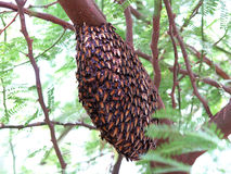 Nid d'abeilles sur le branchement d'arbre Image libre de droits