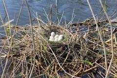 Nid d'oiseau avec des oeufs de foulque maroule dans le printemps Images stock